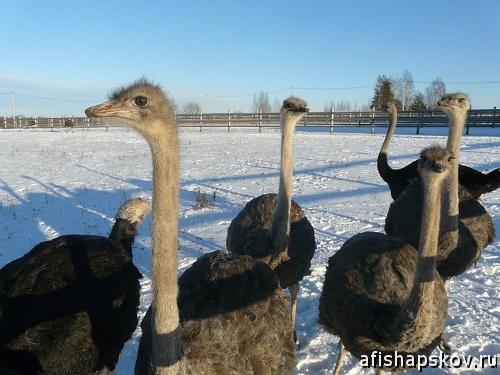 Изборские страусы